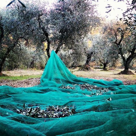 Agriturismo Olivenernte