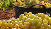 Uve e olive: Oogsttijd in Toscane